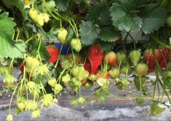 strawberry-slider-1